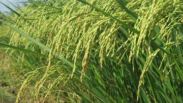 Thuyết minh về một loại lúa
